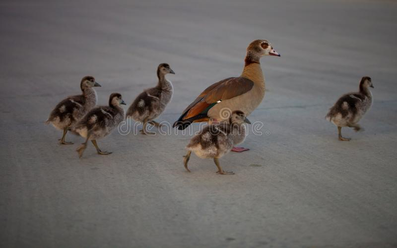 Gaggle of Egiptian geese alopochen aegyptiaca with geeselings crosses street.  stock photography