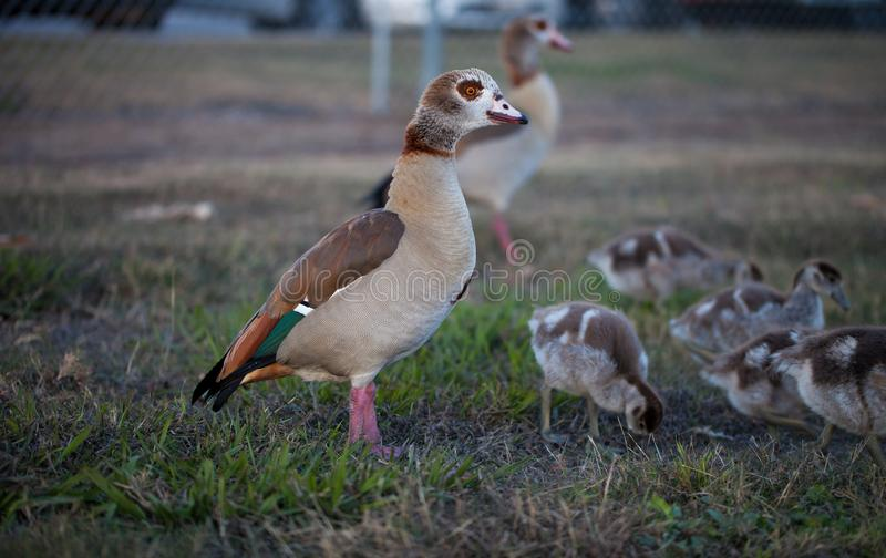 Gaggle of Egiptian geese alopochen aegyptiaca with geeselings on grass. Adult and young geese stock image