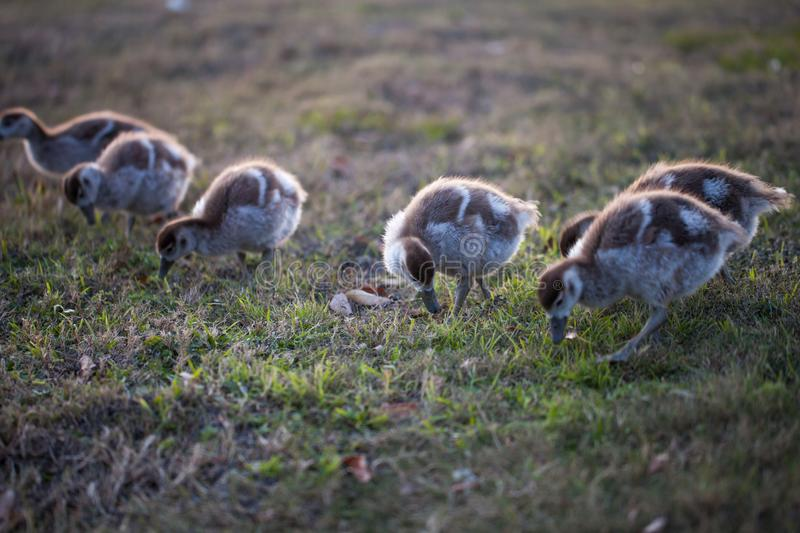 Gaggle of Egiptian geeselings alopochen aegyptiaca feeding on grass. Group of young geese stock photo