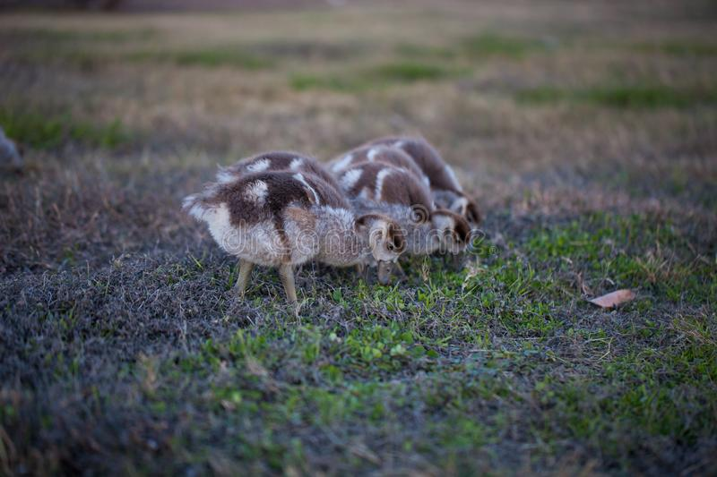 Gaggle of Egiptian geeselingsalopochen aegyptiaca feeding on grass. Group of geese stock photos