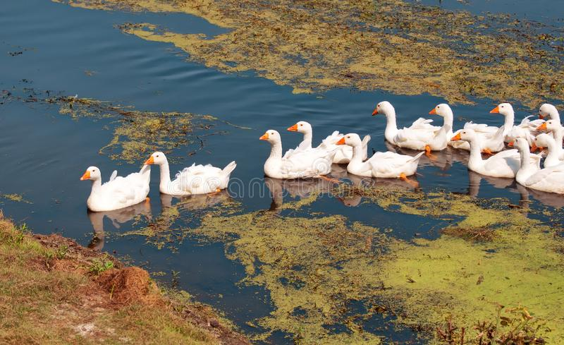 A gaggle of geese crossing the river stock photography
