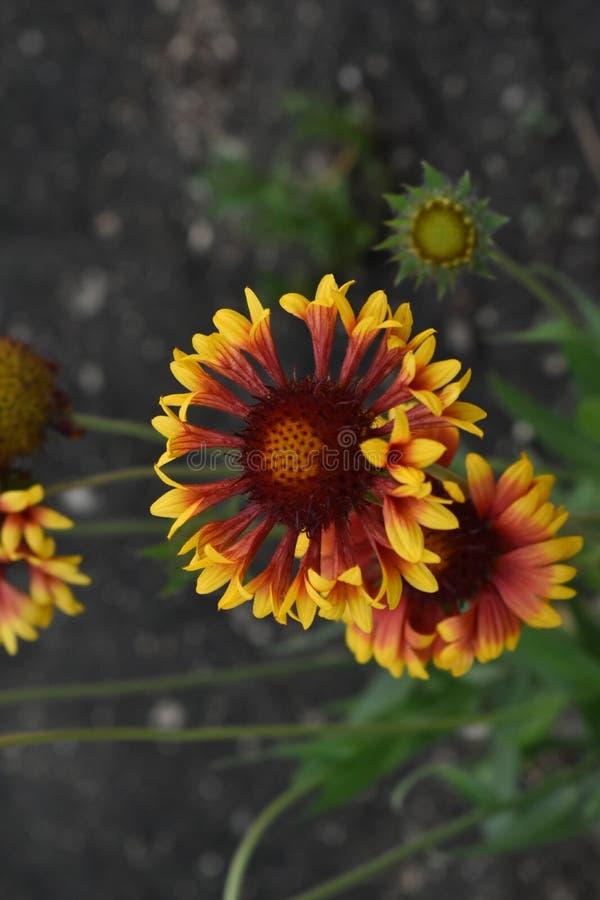 Gailardia是庭院的一棵每年植物 免版税库存图片