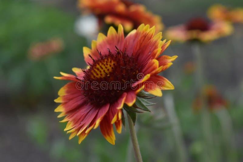Gailardia是庭院的一棵每年植物 免版税库存照片