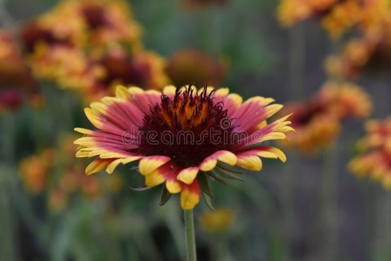 Gailardia是庭院的一棵每年植物 库存照片