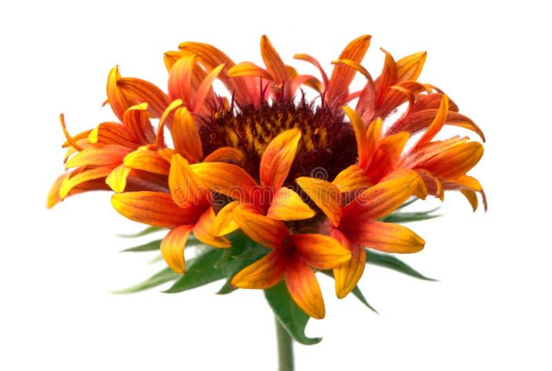 Gaillárdia flower isolated on white background. Orange gaillárdia flower   isolated on white background stock images