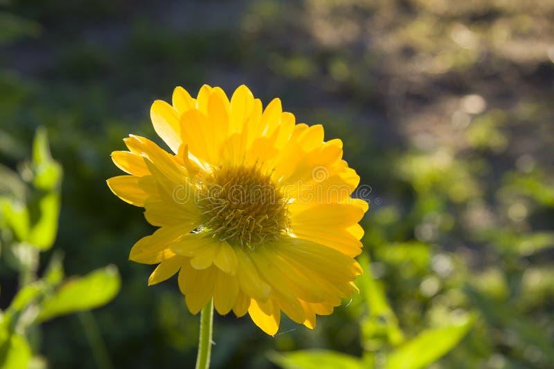 Gaillardia цветка желтый стоковое фото rf