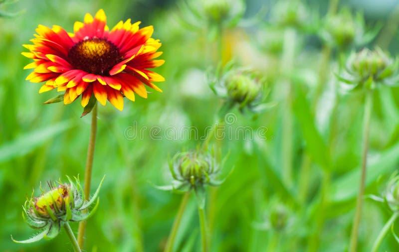 Gaillardia aristata, blanket flower, flowering plant. In the sunflower family royalty free stock image