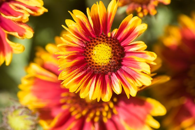 Gaillardia aristata stock images