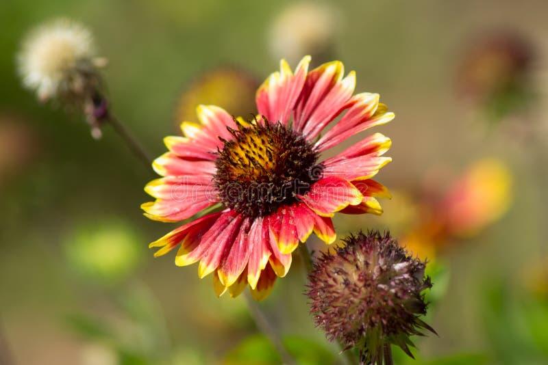 Gaillardia da flor geral foto de stock