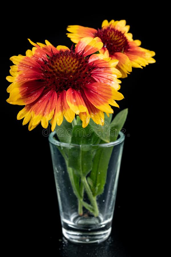 Gaillardia pulchella on a dark table in a glass vase. Beautiful flowers cut from the home garden. Black background, american, art, beauty, blanket royalty free stock images