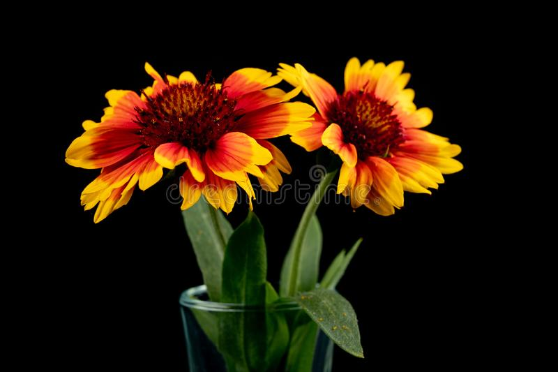 Gaillardia pulchella on a dark table in a glass vase. Beautiful flowers cut from the home garden. Black background, american, art, beauty, blanket stock photos
