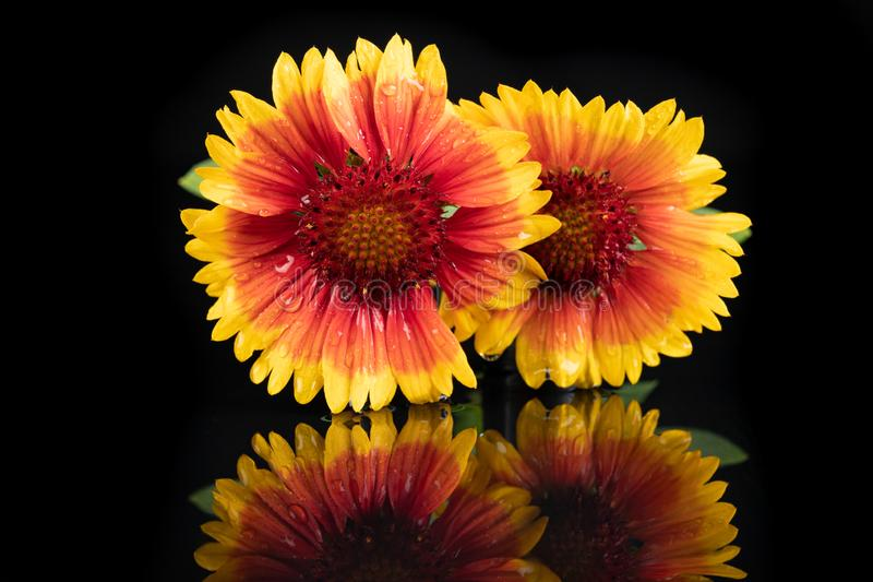 Gaillardia pulchella on a dark table in a glass vase. Beautiful flowers cut from the home garden. Black background, american, art, beauty, blanket royalty free stock photography
