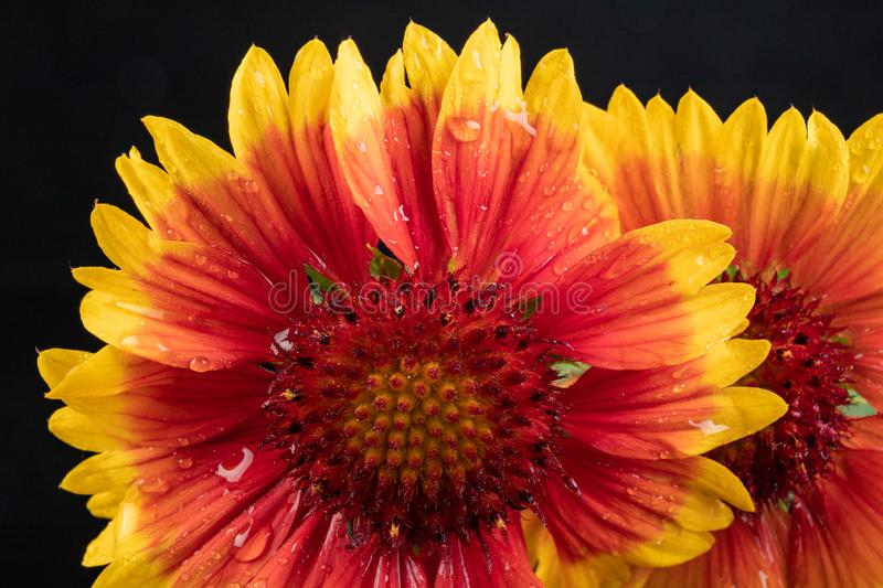 Gaillardia pulchella on a dark table in a glass vase. Beautiful flowers cut from the home garden. Black background, american, art, beauty, blanket stock images