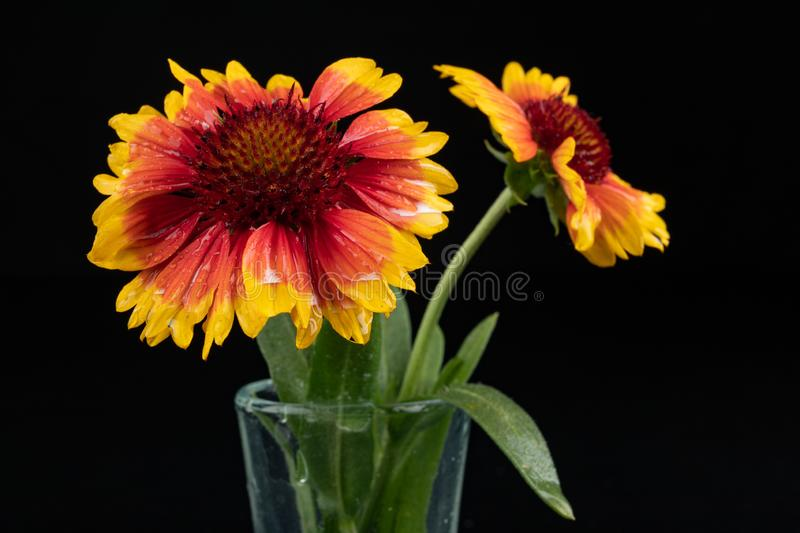 Gaillardia pulchella on a dark table in a glass vase. Beautiful flowers cut from the home garden. Black background, american, art, beauty, blanket stock photography
