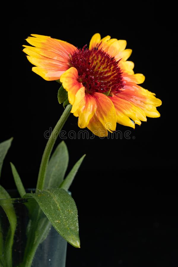 Gaillardia pulchella on a dark table in a glass vase. Beautiful flowers cut from the home garden. Black background, american, art, beauty, blanket stock photo