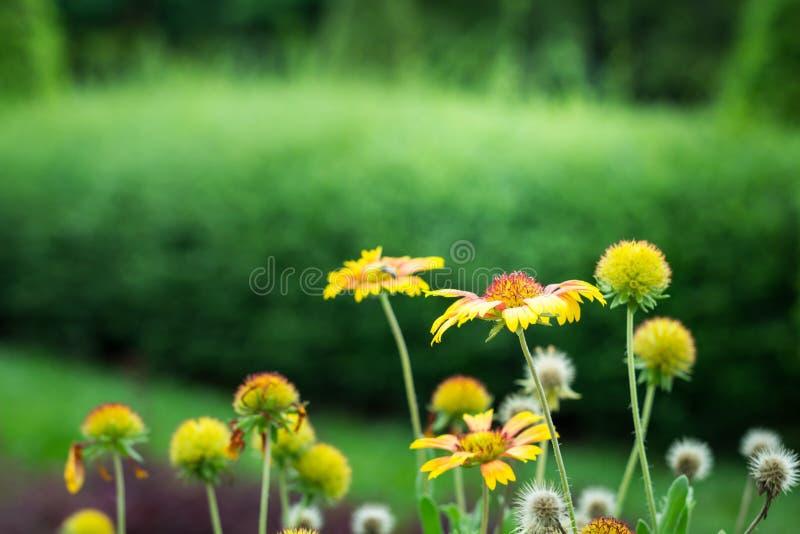 Download Gaillardia Pulchella Flower In Gardent Stock Image   Image Of  Nature, Indian: 58834023