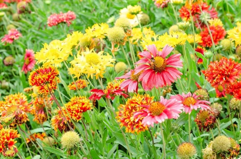 Gaillardia variopinto o Gaillardie nel giardino fotografia stock
