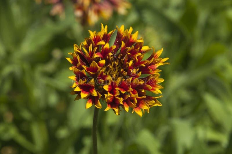 Gaillardia vibrante di fanfara in giardino fotografia stock