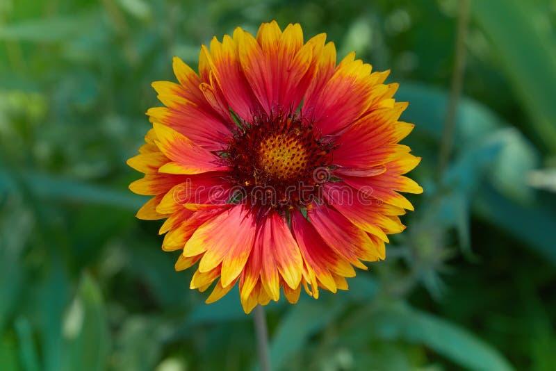Gaillardiaaristata, filtblomma, blomningv?xt i solrosfamiljen fotografering för bildbyråer