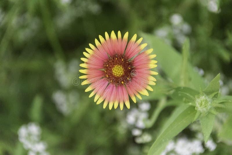 Gaillardiapulchella Indische Algemene Wildflower stock fotografie