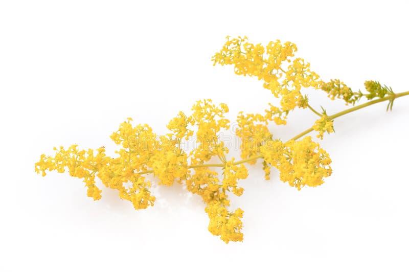 Gaillet jaune de floraison ou caille-lait jaune, d'isolement sur blanc, verum de gaillet image libre de droits