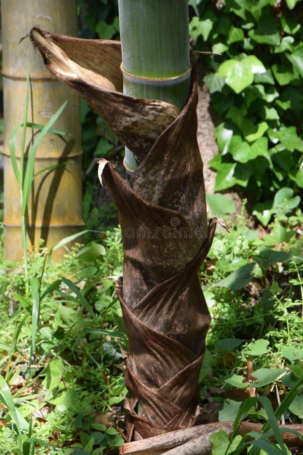 Gaine en bambou photo stock
