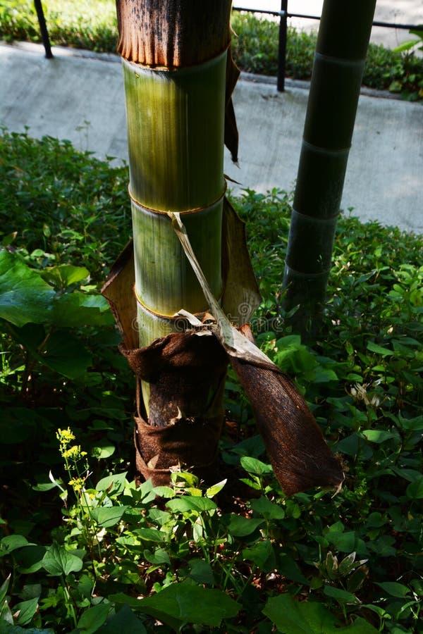 Gaine en bambou photos libres de droits