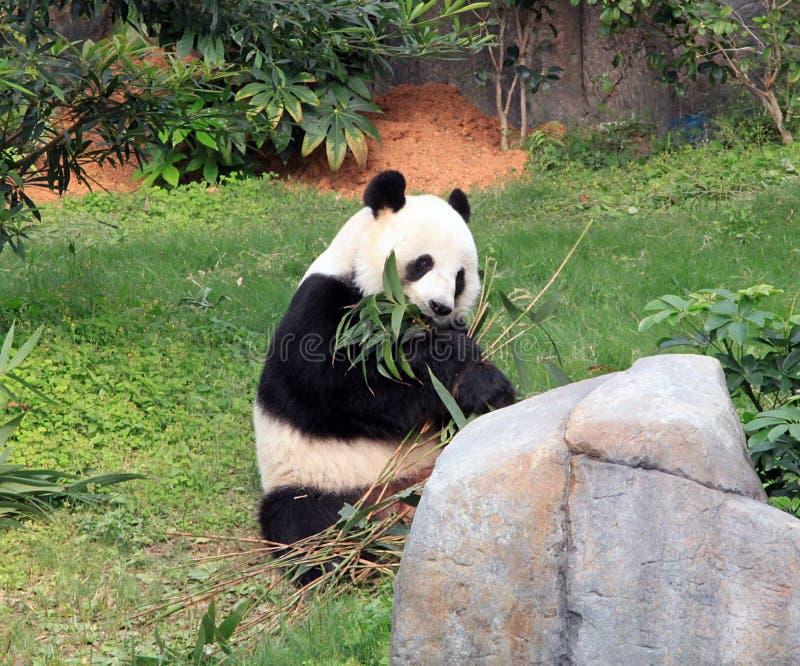 Gaint Panda Eating Bamboo Leaves royalty free stock photo