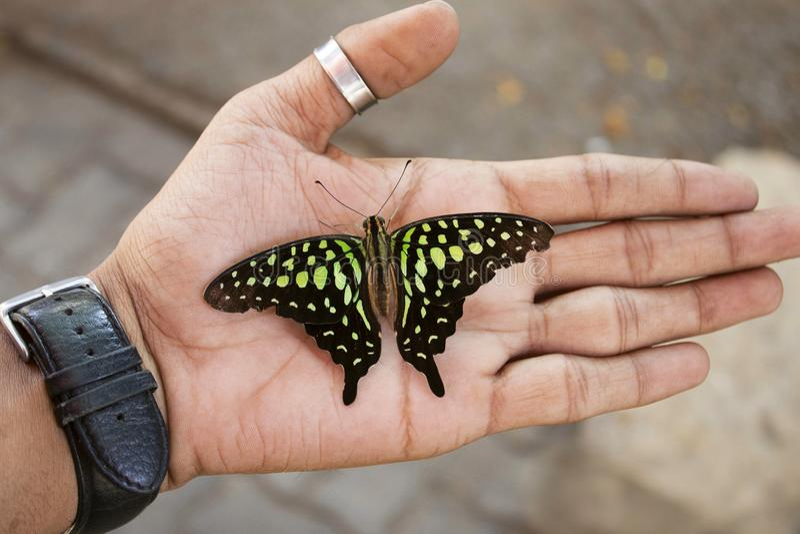 Gaio atado ou borboleta Verde-manchada do triângulo, agamemnon de Graphium que senta-se disponível, Índia fotografia de stock royalty free
