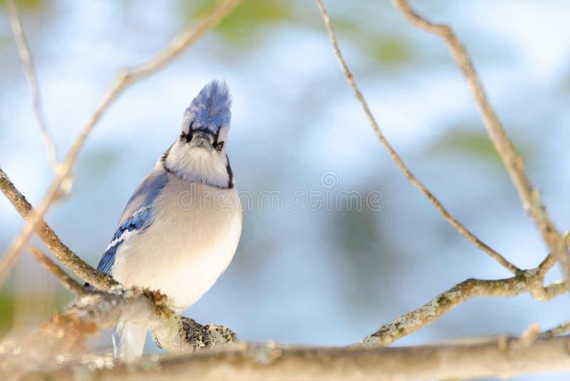 Gaio azul (cristata do Cyanocitta) na primavera adiantada, empoleirada em um ramo e em olhar a câmera, observando seu domínio imagens de stock