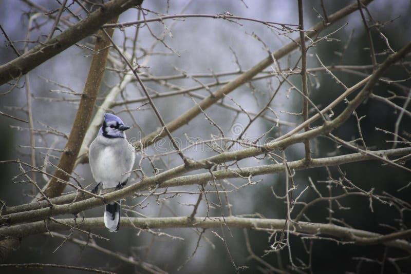 Gaio azul macio no ramo de árvore da amoreira em um dia invernal fotos de stock royalty free