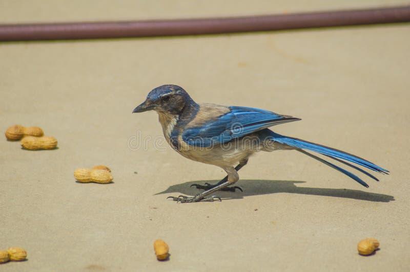 Gaio azul ocidental com amendoins imagens de stock