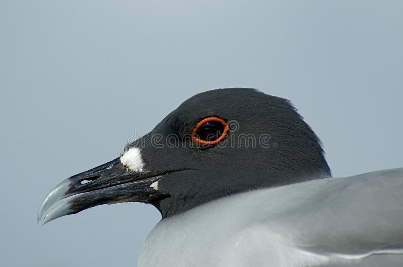 gaivota Andorinha-atada, Zwaluwstaartmeeuw, furcatus de Creagrus imagens de stock