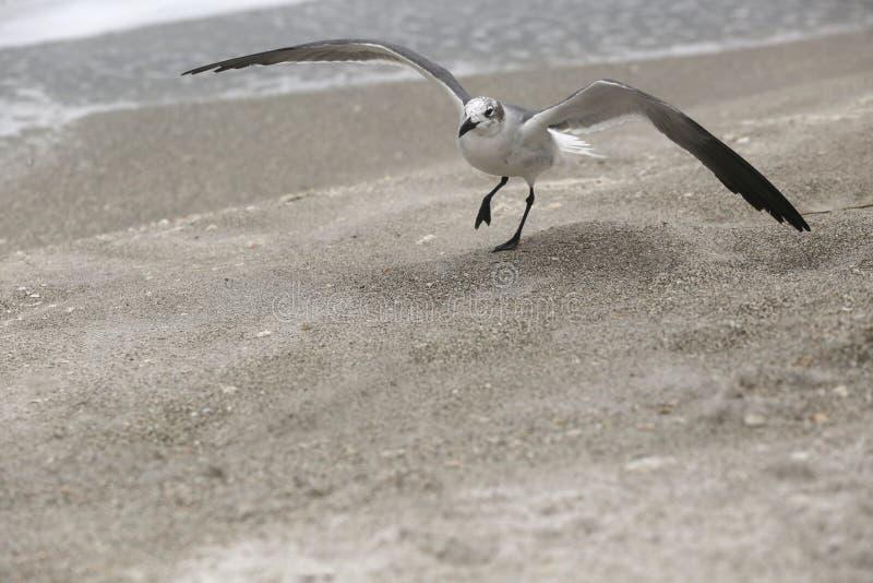 Gaivota batendo em uma praia fotografia de stock royalty free