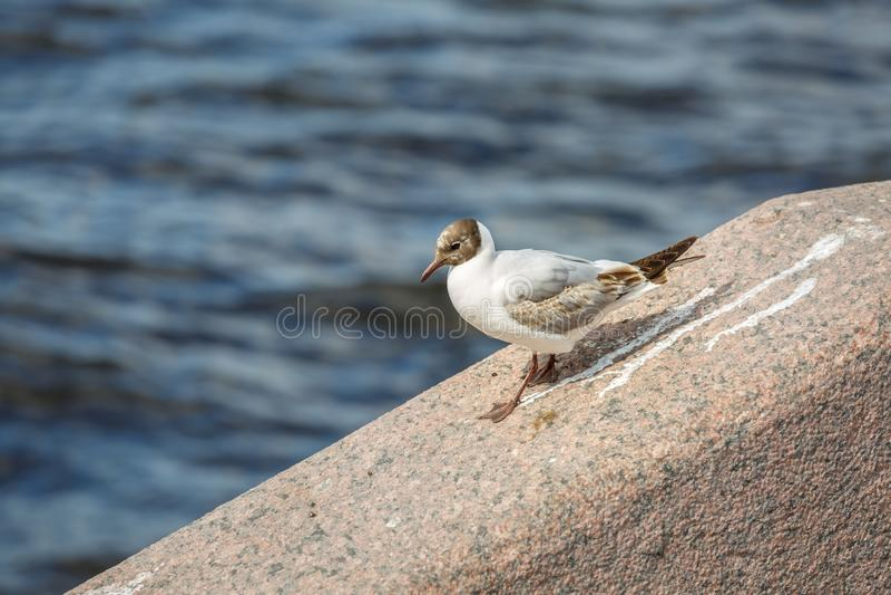 A gaivota branca bonita com plumagem marrom está andando ao longo de uma borda do granito contra as águas escuras de Neva River n imagens de stock