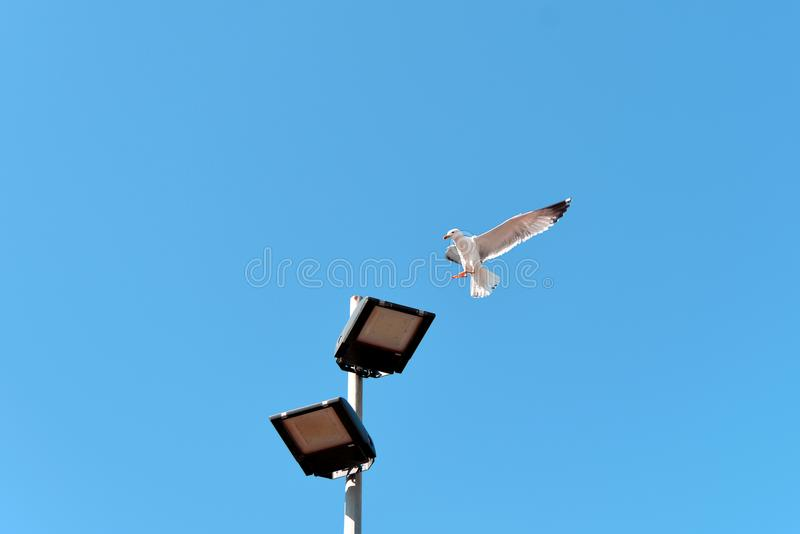 Gaivota branca brilhante que está no céu e que aterra em um revérbero foto de stock