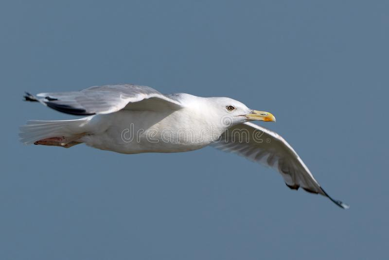 Gaivota branca em voo fotos de stock