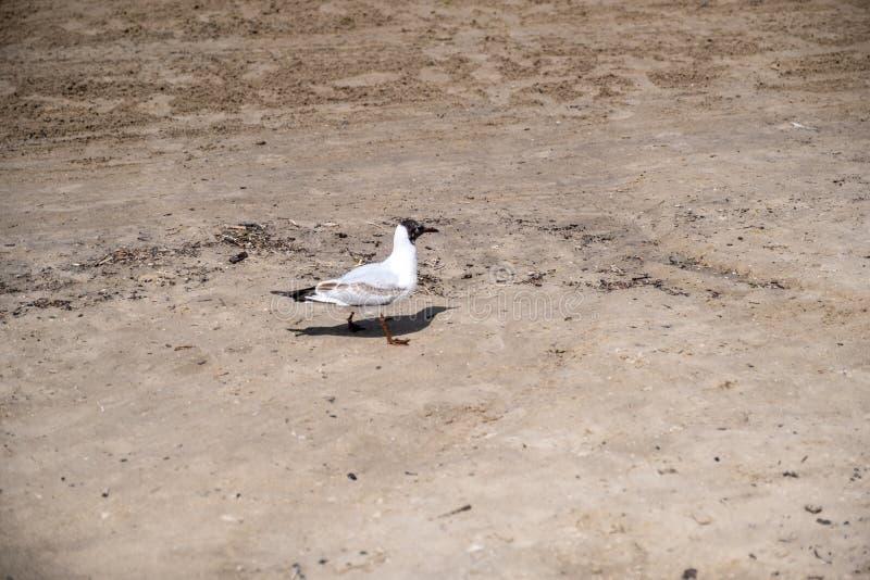Gaivota branca no Sandy Beach O pássaro anda na areia imagem de stock