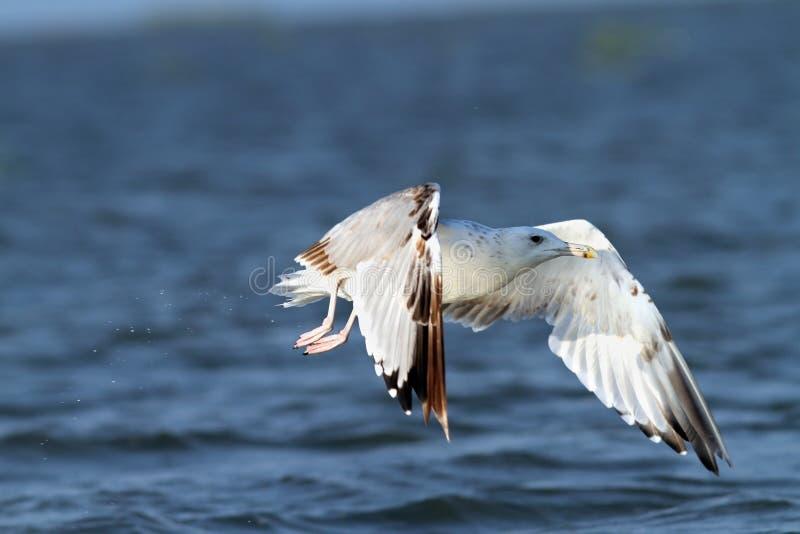 Gaivota branca que voa sobre a água azul fotografia de stock royalty free