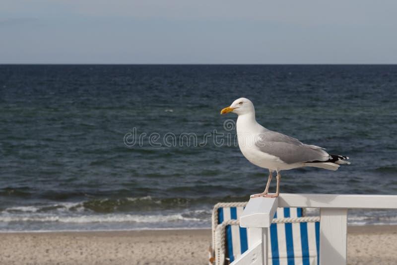 Gaivota brilhante que senta-se em um corrimão com o mar Báltico no fotos de stock royalty free