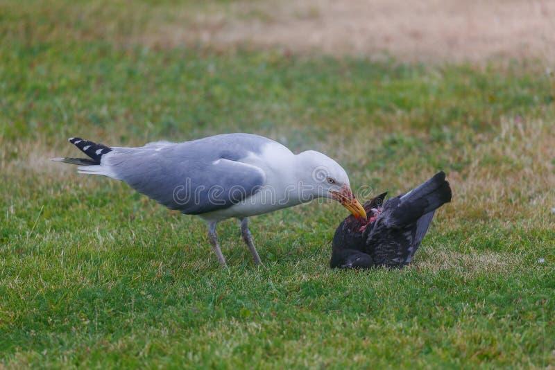 A gaivota come o pombo na grama verde imagens de stock royalty free