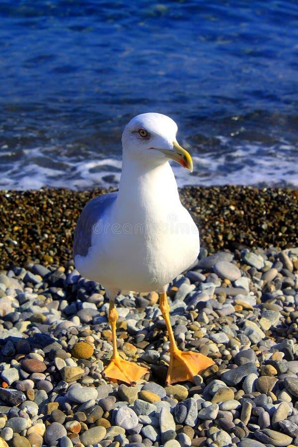 A gaivota corre através da telha perto do mar imagem de stock royalty free