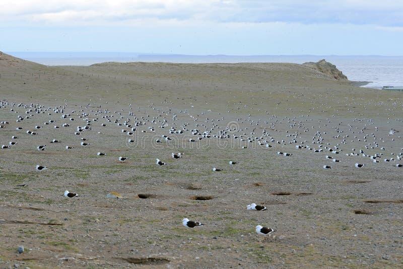 Gaivota da alga, igualmente conhecida como a gaivota dominiquense, aninhando-se no santuário do pinguim em Magdalena Island no St fotografia de stock royalty free