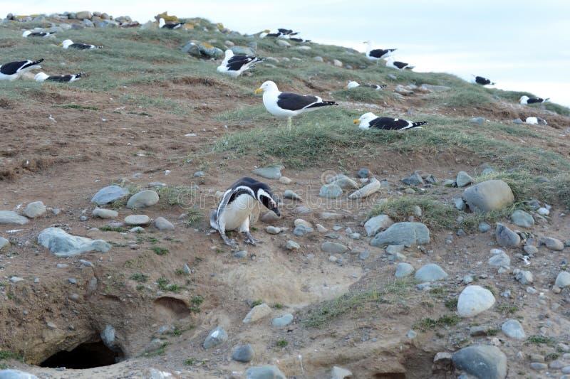 Gaivota da alga, igualmente conhecida como a gaivota dominiquense, aninhando-se no santuário do pinguim em Magdalena Island no St fotos de stock royalty free