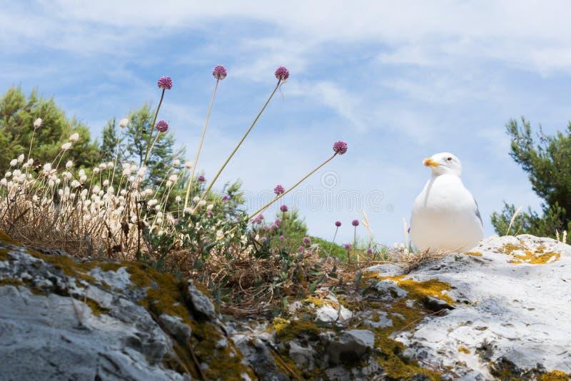 A gaivota de arenques é uma gaivota de mar, que se aninhe geralmente em penhascos nas colônias, p ocasionalmente solitário imagens de stock
