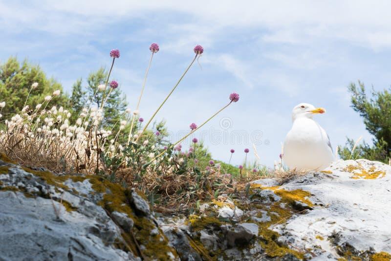 A gaivota de arenques é uma gaivota de mar, que se aninhe geralmente em penhascos nas colônias, p ocasionalmente solitário imagem de stock royalty free