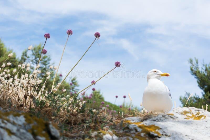 A gaivota de arenques é uma gaivota de mar, que se aninhe geralmente em penhascos nas colônias, p ocasionalmente solitário fotografia de stock
