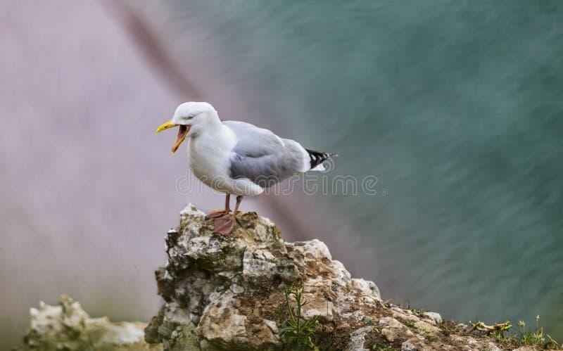 A gaivota de arenques européia nos penhascos de Etretat foto de stock royalty free