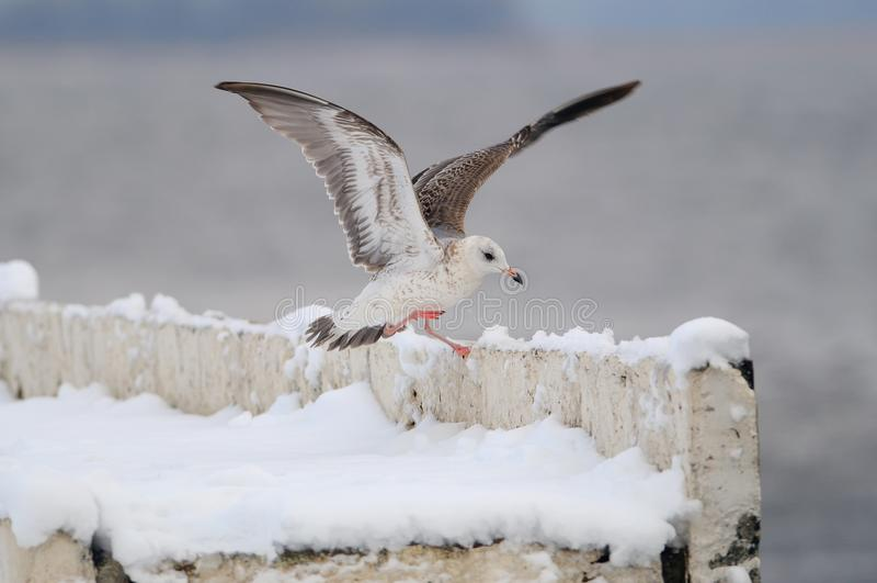 A gaivota de arenques europeia aterra na cerca concreta da terraplenagem que está em um pé, espalhando suas asas foto de stock royalty free