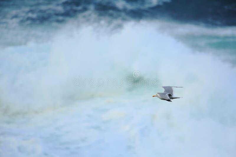 Gaivota de arenques sobre o mar imagens de stock royalty free